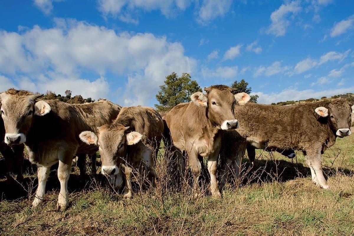 Fattoria mucche al pascolo
