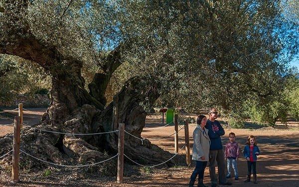 Museu Natural de les Oliveres, olivo secolare