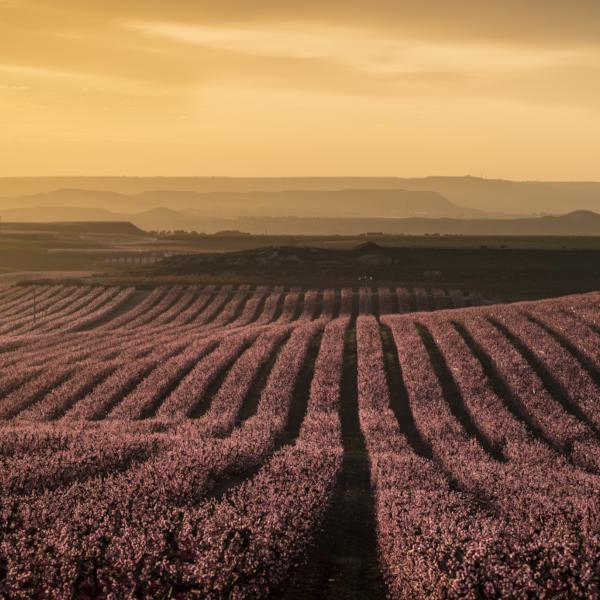 I frutteti di Aitona al tramonto