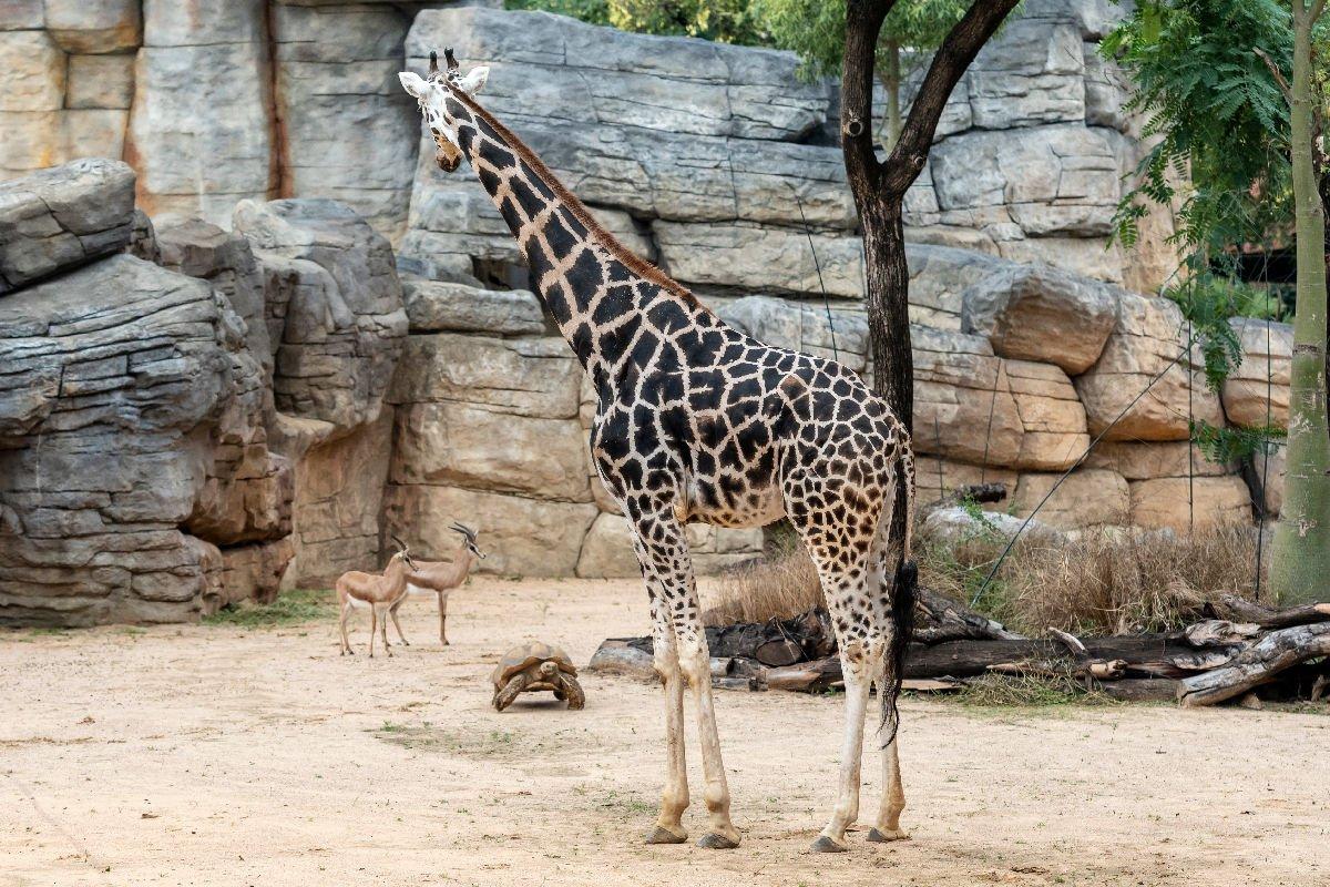 Zoo di Barcellona giraffa