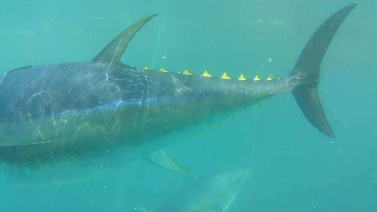 Nuotare con i tonni in Catalunya
