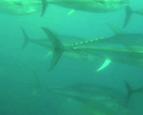 Nuotare con i tonni nell'acqua di Ametlla de Mar